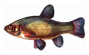 http://www.matchfishing.ru/img/fish/lin/image001.jpg